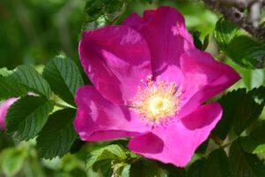 piękna róża rosa rugosa